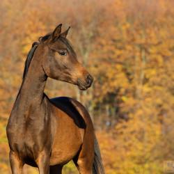 Portrait of Arabian filly in autumn