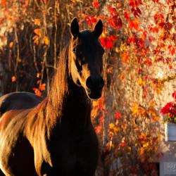 Portret gniadego araba jesienią na tle czerwonego wina