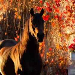 Autumn portrait of Arabian gelding against red leaves