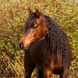 Wiosenny portret gniadego araba z długą grzywą zdjęcia koni