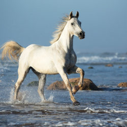 Grey Arabian galloping in the sea