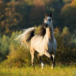Arabian gelding trotting on the hills in autumn