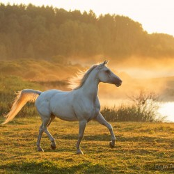 Arabian gelding trotting in autumn scenery at misty morning