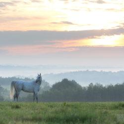 Arabian horse standing in the field in the mistymorning
