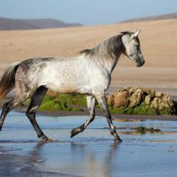 Arabian gelding trotting on the Moroccan beach