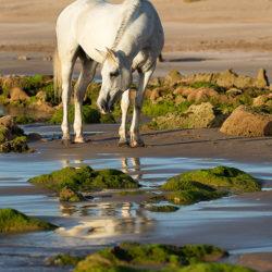 Siwy arab stojący wśród skał w morzu w Maroku