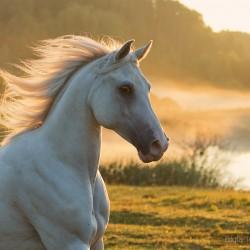 Portrait of Arabian grey gelding galloping in autumn misty scenery