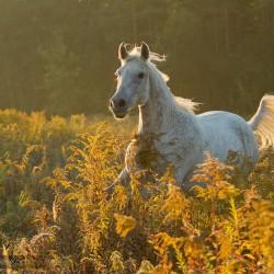 Siwy arab galopujący o wschodzie słońca przez pole nawłoci zdjęcia koni