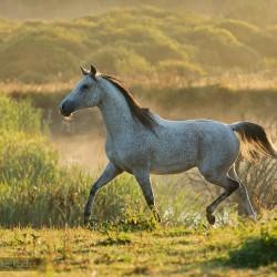 Siwy arab kłusujący o świcie we mgle zdjęcia koni