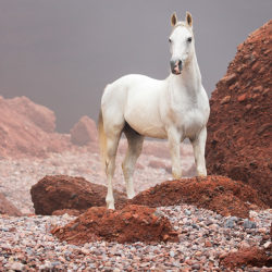 Arabian gelding standing on the Moroccan stony beach