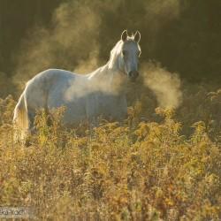 Siwy wałach arabski stojący o świcie we mgle w nawłoci zdjęcia koni