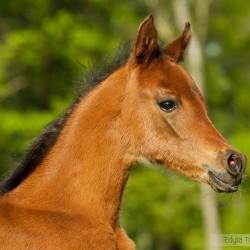 Spring portrait of Arabian foal