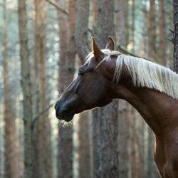 Portret wałacha małopolskiego w lesie