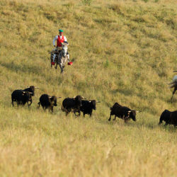 Camperos na koniach lusitano i czarne byki