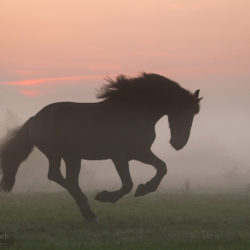 Friesian galloping at sunrise in the mist