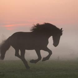 Fryz galopujący jesienią o wschodzie słońca we mgle