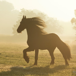 Friesian galloping in the mist in autumn morning