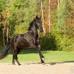 Friesian mare galloping on the sand