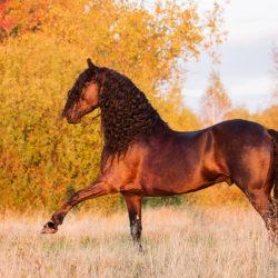 Friesian stallion presenting Spanish walk in autumn