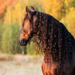 Głowa karego konia fryzyjskiego jesienią o zachodzie