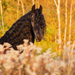 Fall portrait of Friesian at sunset