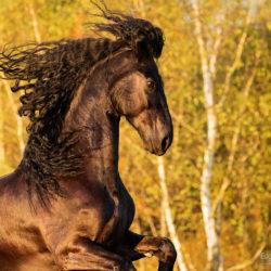 Głowa karego konia fryzyjskiego na tle jesiennych żółtych brzóz