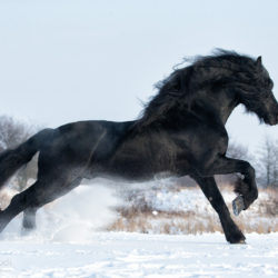 Friesian horse galloping in winter through the snow