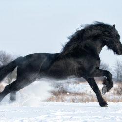 Kary koń fryzyjski galopujący zimą po śniegu