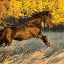 Friesian mare galloping in the mountains through the grass in the autumn