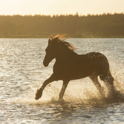 Friesian mare galloping through the lake in summer