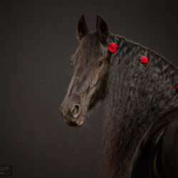 Portrait of Friesian mare on the black background with roses
