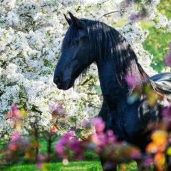 Portret klaczy fryzyjskiej w kwitnącym sadzie