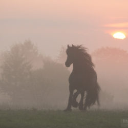 Friesian trotting at sunrise in the mist