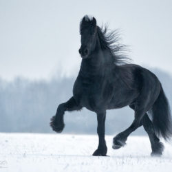 Friesian horse trotting in winter on the snow