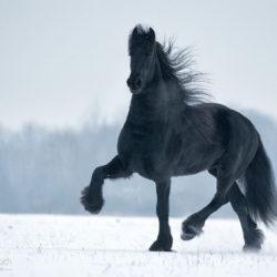 Kary koń fryzyjski kłusujący zimą po śniegu