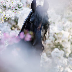 Portrait of Friesian mare in orchad in spring