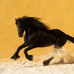 Friesian stallion galloping through the sand