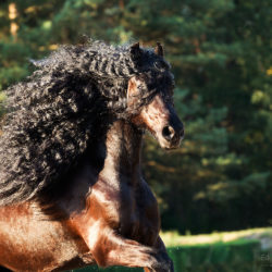Portrait of black Friesian stallion with a long mane at sunset