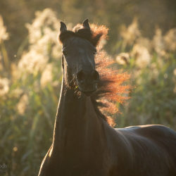 Fall portrait of Friesian at sunset against grasses