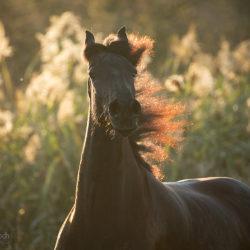 Portret konia fryzyjskiego o zachodzie pod słońca na tle traw