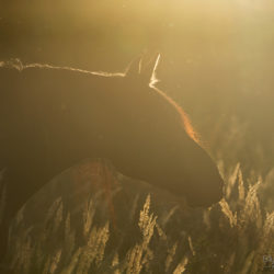 Autumn portrait of Friesian mare among grass at sunset