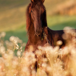 Portrait of a Friesian colt in the summer among flowers