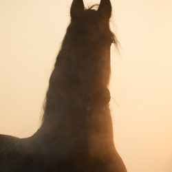 Portrait of a Friesian horse against light in winter at sunset