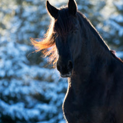 Portrait of a Friesian horse in winter at sunset
