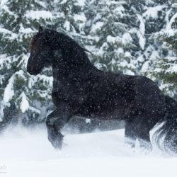 Koń fryzyjski galopujący w zamieci po śniegu