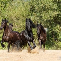 Herd of Friesians horses trotting on the sand
