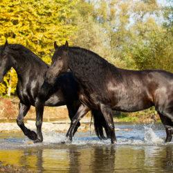 Friesian mares crossing mountain stream