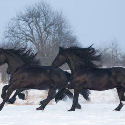 Kare konie fryzyjskie galopujące zimą po śniegu
