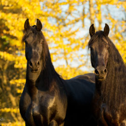 Autumn portrait of Friesian mares on the yellow background
