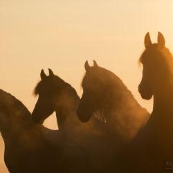 Portret koni fryzyjskich w wschodzie słońca